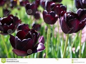 Tulpen Im Garten : dunkle tulpen im garten stockbild bild von tulpen viele ~ A.2002-acura-tl-radio.info Haus und Dekorationen