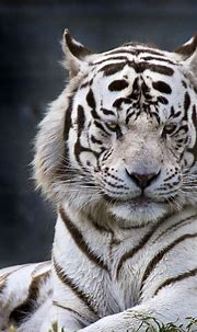 Download wallpaper: The white tiger from Madrid Zoo 1080x1920
