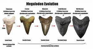 Megalodon Evolution Questions Answers The Fossil Forum