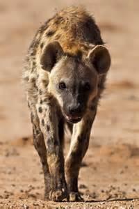 Africa Hyena Animal