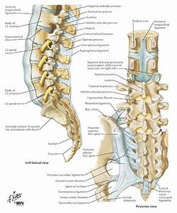 Lumbar Spine And Ligaments