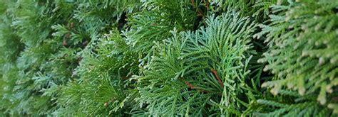 arbre à croissance rapide haie 224 croissance rapide 10 arbres et arbustes qui poussent vite promesse de fleurs