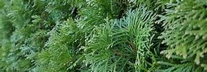 Haie Haute Et Rapide : haie croissance rapide 10 arbres et arbustes qui poussent vite promesse de fleurs ~ Dode.kayakingforconservation.com Idées de Décoration