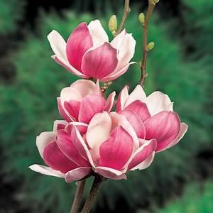 Ahrens Und Sieberz Versand : magnolie 39 satisfaction 39 online kaufen bei ahrens sieberz ~ Lizthompson.info Haus und Dekorationen
