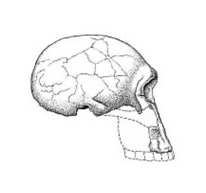Homo Habilis Kenia Spektrum Lexikon Biologie
