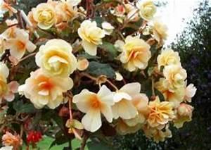 Sommerblumen Für Schatten : begonien begonia die begonie als eine universelle ~ Michelbontemps.com Haus und Dekorationen
