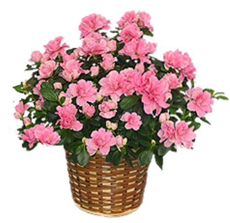 azalea potted plant by lorawise on deviantart