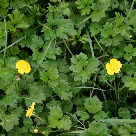 creeping flowers agpest 187 creeping buttercup