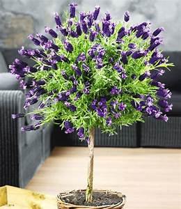 Lavendel Pflanzen Im Topf : lavendelst mmchen mit krone top qualit t baldur garten ~ Frokenaadalensverden.com Haus und Dekorationen