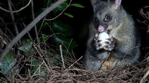 nz possum possums zealand doc eating pests egg predator why animals govt kereru nest opossum nature threats environment native plants