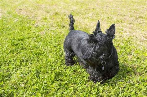 scottish terriers  breed