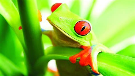 la simbologia della rana euforilla