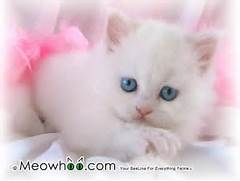 White Baby Cats With Blue Eyes Images   Pictures - Becuo  White Baby Cat With Blue Eyes