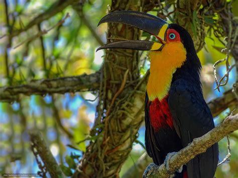 Download Wallpaper Toucan, Bird, Beak, Branch Free Desktop