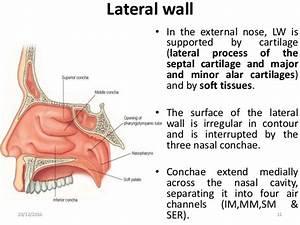 Nasal Cavity  U0026 Paranasal Sinuses