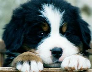 Bernese Mountain Dogs | Dog Clothing, Products, News and ...