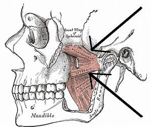Lateral pterygoid muscle - Wikipedia