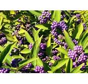 The Beautiful Beautyberry – Dig It