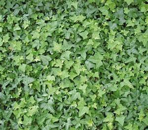 Efeu Pflanzen Kaufen : gew hnlicher efeu dehner garten center ~ Michelbontemps.com Haus und Dekorationen