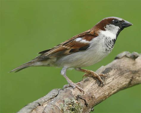 house sparrow audubon field guide