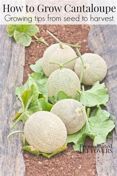 how to grow cantaloupe how to grow cantaloupe gardens growing cantaloupe and plants