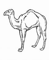 Camel Coloring Pages Animals Wild Desert Printable Arabian Animal Drawing Outline Clipart Caravan Sheet Clip Getcoloringpages Getdrawings Library Coloringpages101 Honkingdonkey sketch template