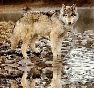 Symbole Du Loup : symbole du loup ~ Melissatoandfro.com Idées de Décoration