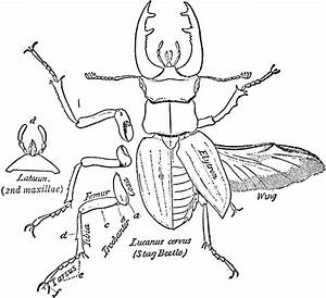 Stag Beetle  Dorsal