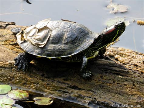 eared slider ohio s 12 species of turtles at a glance trekohio