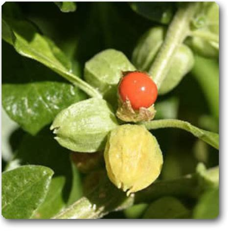 buy  ashwagandha india ginseng seeds   nursery
