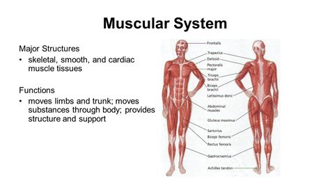 Muscular System Images Human Systems Ppt