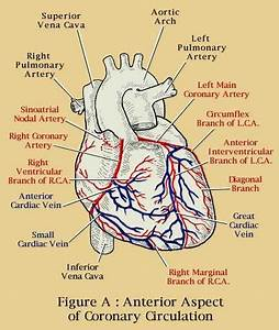 43 Best Images About Coronary Arteries On Pinterest