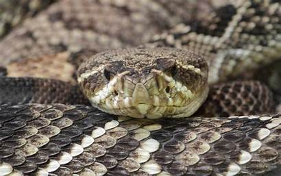 Rattlesnake Diamondback Eastern Snake Wallpapers Crotalus Snakes