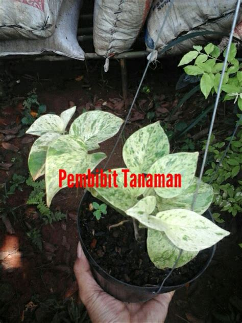jual tanaman hias sirih gading putih  lapak pembibit