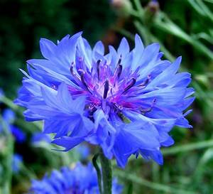 Cornflowers – Fennel and Fern