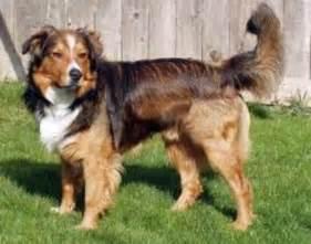 English Shepherd Farm Collie Dog
