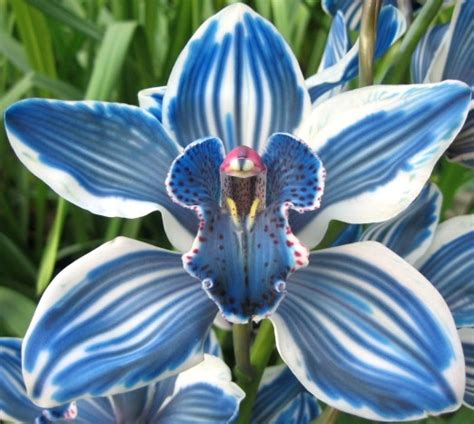 cymbidium dyed blue metropolitan wholesale