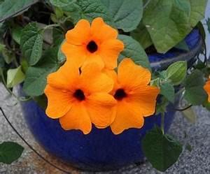 Plantes Grimpantes Pot Pour Terrasse : cultiver les plantes grimpantes en pots ou en bacs ~ Premium-room.com Idées de Décoration