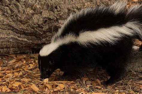 striped skunk curiodyssey