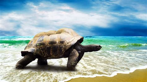 turtle wallpapers  wallpapers