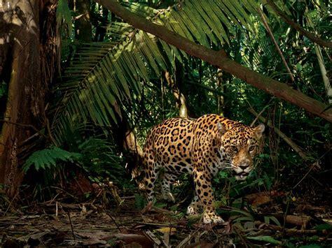 amazing jaguar habitat interesting facts about jaguars just facts