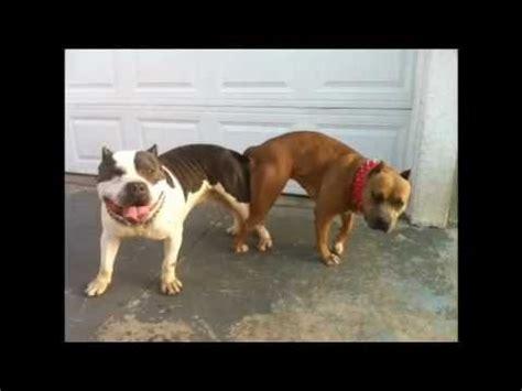 bully pitbull breeding lbk youtube