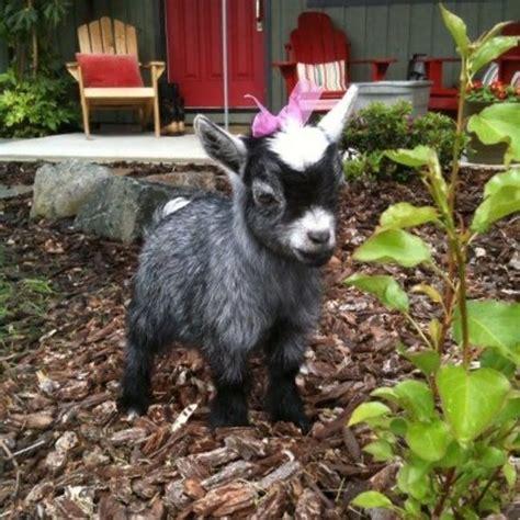 adorable moments  baby goats   melt  heart