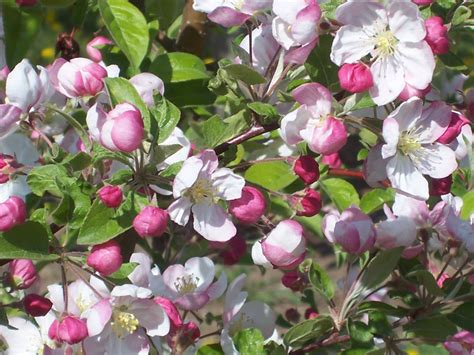 Flowering Fruit Trees  Flowers Ideas For Review