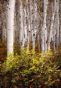 Colorado, Aspen, Trees, Fall, Tree, Decor, Aspen, Forest, Floor