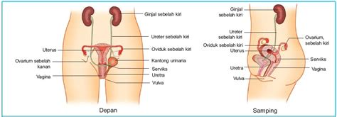 Rahim Wanita Terletak Organ Alat Reproduksi Pada Wanita Struktur Dan Fungsi