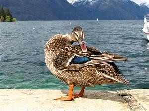 Mallard duck quacking stock photo. Image of mountains ...