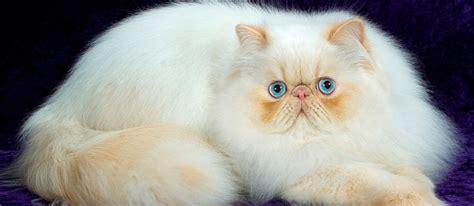 beli kucing persia kenali ciri cirinya terlebih