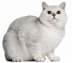50+ Lovely British Shorthair Cat Images - Golfian.com