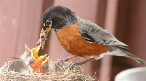 baby robins being fed feederwatch
